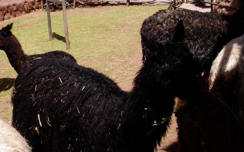 alpaca - trip peru