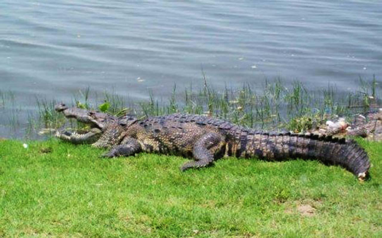 black alligator - trip peru